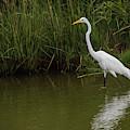 Great Egret Walking by Jennifer Ancker