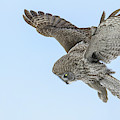 Great Gray Owl by Christopher Ciccone