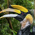 Great Hornbill by Arterra Picture Library