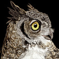 Great-horned Owl by Ann Ranlett