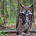 Great Horned Owl Standing On A Tree Log by Jill Lang