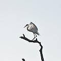 Great White Egret by Nancybelle Gonzaga Villarroya