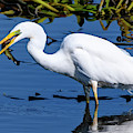 Great White Egret With Fish by Colin Rayner