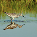 Greater Yellowlegs Shorebird by Debbie Stahre