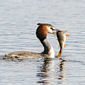 Grebe With Fish by Colin Rayner
