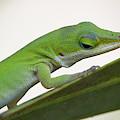 Green Anole by Paul Rebmann