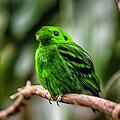 Green Broadbill by By Ken Ilio
