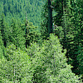 Green Conifer Forest On Steep Hillside  by Steve Estvanik