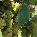 Green Grapes On The Vine 10 by Cathy Lindsey