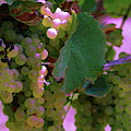 Green Grapes On The Vine 12 by Cathy Lindsey