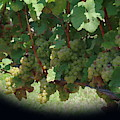 Green Grapes On The Vine 16 by Cathy Lindsey