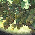 Green Grapes On The Vine 17 by Cathy Lindsey