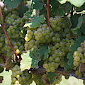 Green Grapes On The Vine 18 by Cathy Lindsey