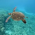 Green Sea Turtle, Big Island, Hawaii by Paul Souders