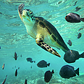 Green Sea Turtle Chelonia Mydas by Tim Fitzharris/ Minden Pictures
