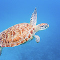 Green Sea Turtle Swimming by Mark Hunter