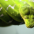 Green Snake Curled And Resting by Gail Shotlander