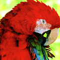 Green-winged Macaw by Debbie Stahre