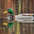 Greenhead Mallard In The Rain by Dale Kauzlaric