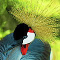Grey Crowned Crane Gulf Shores Ab A101218 by Mas Art Studio