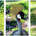 Grey Crowned Crane Gulf Shores Al Collage 4 Triptych by Ricardos Creations