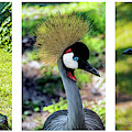 Grey Crowned Crane Gulf Shores Al Collage 6 Triptych by Ricardos Creations