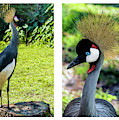 Grey Crowned Crane Gulf Shores Al Collage 9 Diptych by Ricardos Creations