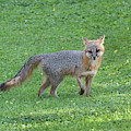 Grey Fox Looking Pretty Cool In A Yard by Dan Friend
