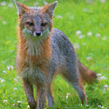 Grey Fox Staring Straight Ahead Paintography by Dan Friend