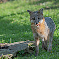 Grey Fox With Food In His Mouth by Dan Friend