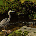 Grey Heron Fishing by Robert Murray