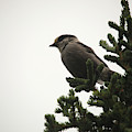 Grey Jay 3025 by Ericamaxine Price
