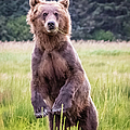 Grizzly Bear Standing by Lyl Dil Creations