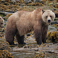 Grizzlies by Randy Hall