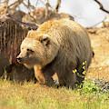 Grizzly Bear by Diego Garcia