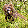 Grizzly Cub Grazing, Alaska by Lyl Dil Creations