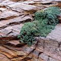 Growing From The Rock Terrain In Zion  by Debra Martz