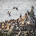 Guillemot's On Stack Rocks by Elliott Coleman