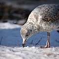 Gull In Snow by Karol Livote