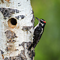 Hairy Woodpecker by David Morefield
