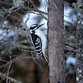 Hairy Woodpecker In The Bog by Susan Rissi Tregoning