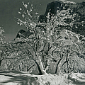 Half Dome, Apple Orchard, Yosemite by Archive Photos