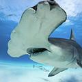 Hammerhead Shark by Markus Hermannsdorfer
