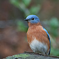 Handsome Male Eastern Bluebird by Cascade Colors