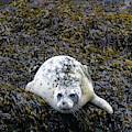 Harbor Seal by Michael Chatt
