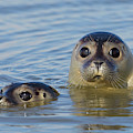 Harbor Seals by Arterra Picture Library