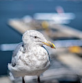 Harbour Gull by Ross G Strachan