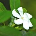 Hawaiian Gardenia by Lehua Pekelo-Stearns