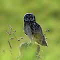 Hawaiian Owl by Pamela Walton