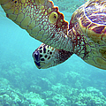 Hawaiian Sea Turtle In Blue Water Above by Back In The Pack Dog Portraits
